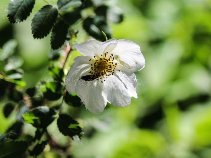 мудрые leaved роза утеса или cistus salvia (salviifolius Cistus стоковое изображение rf