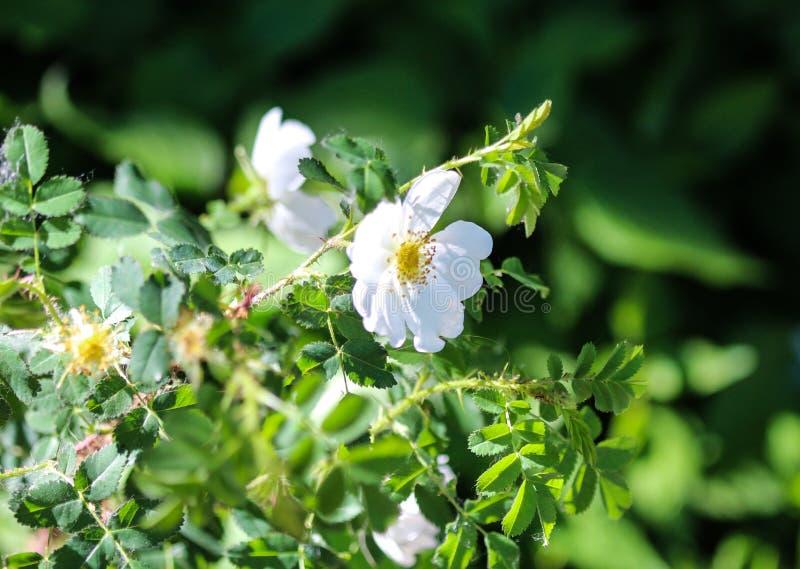 мудрые leaved роза утеса или cistus salvia (salviifolius Cistus стоковые фото