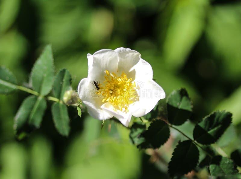 мудрые leaved роза утеса или cistus salvia (salviifolius Cistus стоковые изображения