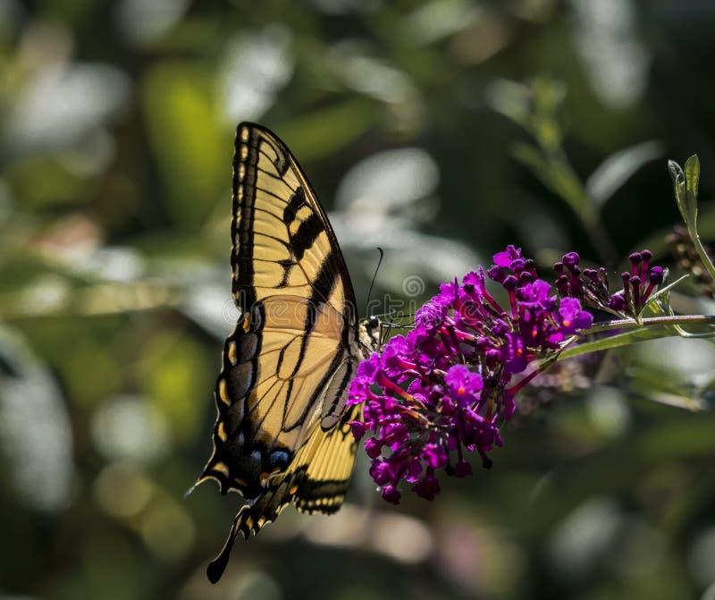 Мужская американская бабочка Swallowtail тигра стоковая фотография rf