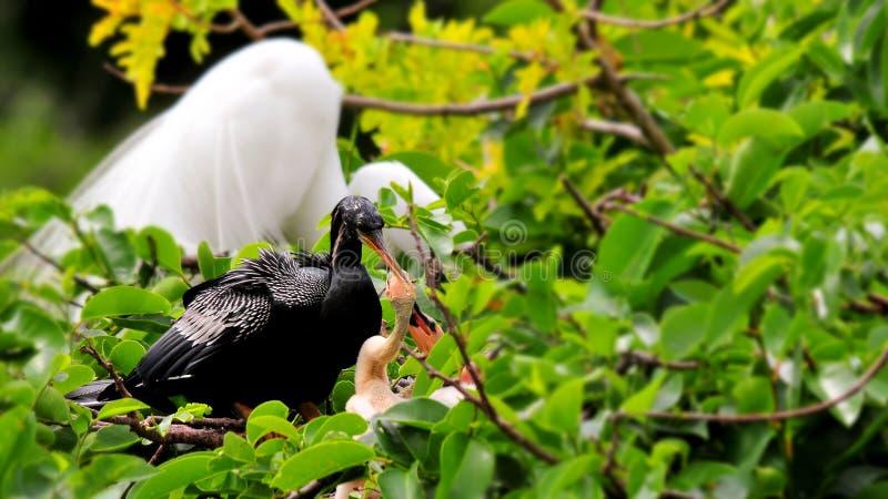 Мужская американская змеешейка на ветви & 2 цыпленока в гнезде стоковое фото rf