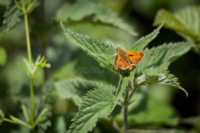 Мужская большая бабочка шкипера стоковая фотография rf