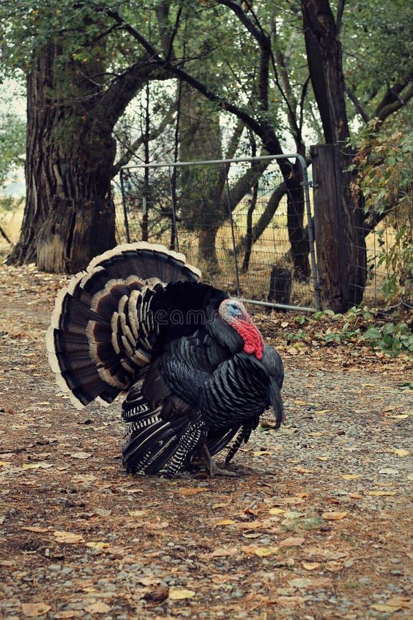 Мужская бронзовая порода отечественная Турция на пути стоковые изображения
