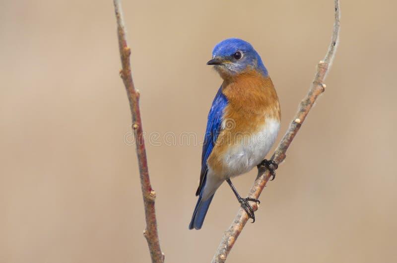 Мужская восточная синяя птица в воздухе весеннего времени стоковые фотографии rf