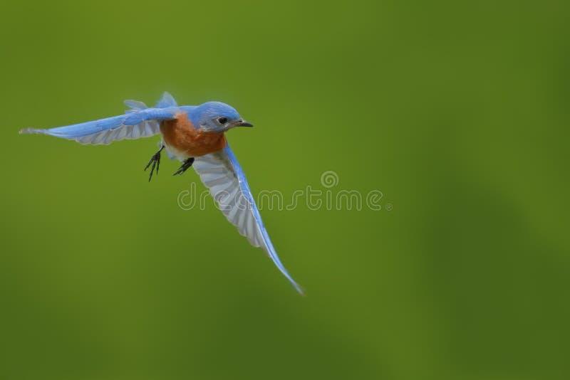 Мужская восточная синяя птица летает к коробке вложенности стоковое фото rf
