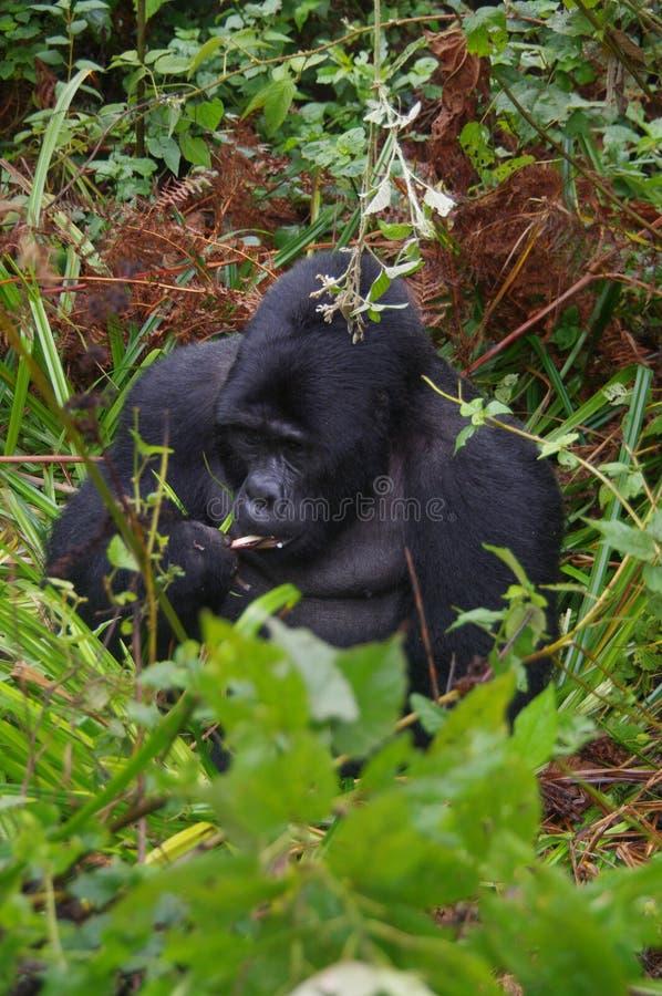 Мужская горилла горы в Уганде стоковое фото
