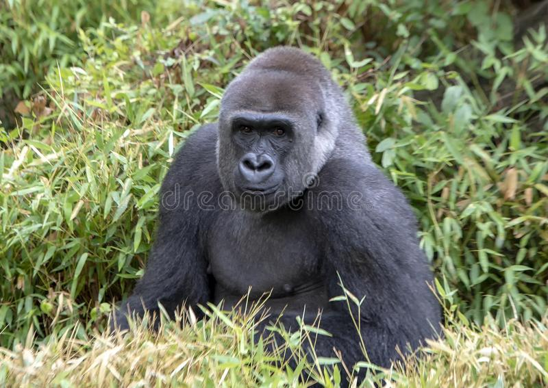 Мужская горилла silverback, зоопарк Далласа стоковое фото rf