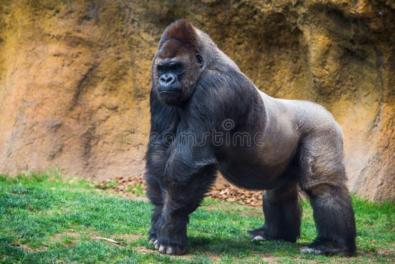 Мужская горилла с задней частью серебра стоковое фото rf