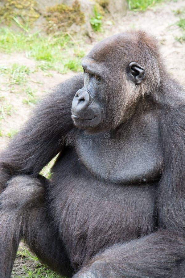 Мужская горилла silverback, одиночное млекопитающее на траве стоковая фотография
