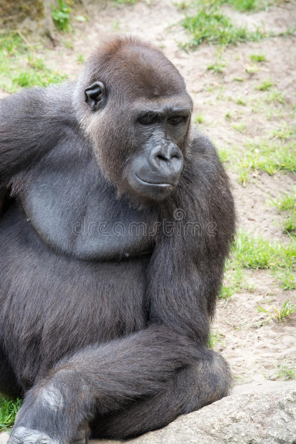 Мужская горилла silverback, одиночное млекопитающее на траве стоковое фото