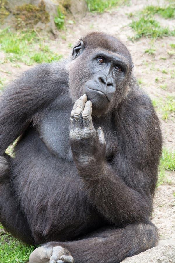 Мужская горилла silverback, одиночное млекопитающее на траве стоковые изображения