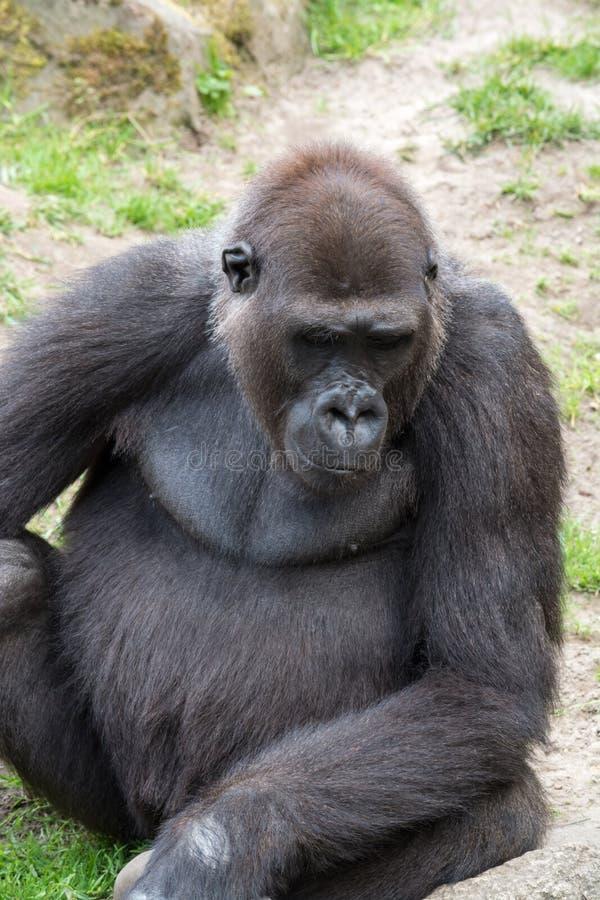 Мужская горилла silverback, одиночное млекопитающее на траве стоковое изображение