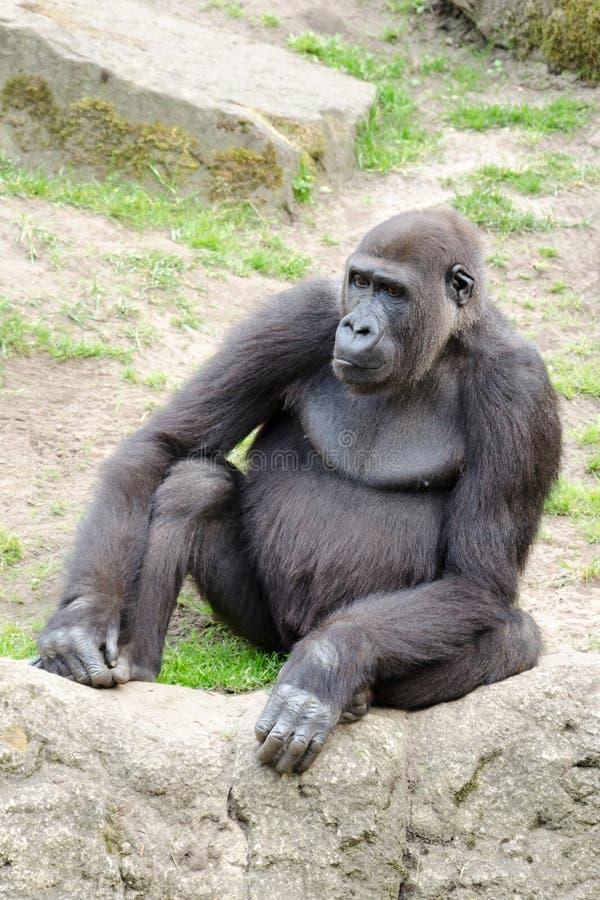Мужская горилла silverback, одиночное млекопитающее на траве стоковые фото
