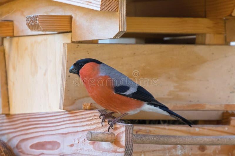 Мужская евроазиатская общая птица воробьинообразного Bullfinch в красном оранжевом blac стоковое изображение