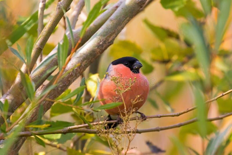 Мужская евроазиатская общая птица воробьинообразного Bullfinch садясь на насест на дереве f стоковая фотография