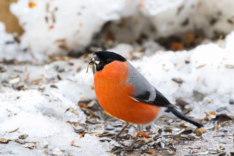 Мужская евроазиатская общая птица Bullfinch в апельсине с клювом вполне положения семени гайки на снеге в Европе стоковые фотографии rf