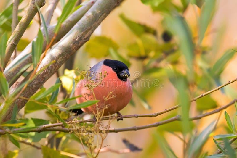 Мужская евроазиатская общая птица Bullfinch в красном апельсине садясь на насест на tr стоковое изображение