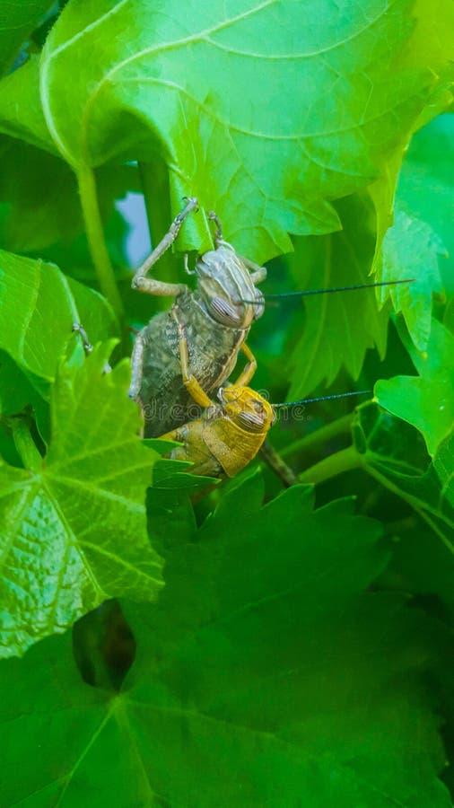 Мужская и женская саранча на листьях лозы Сопрягающ, пожелтейте мужской и более большой зеленый коричневый женский взгляд конца-в стоковые фотографии rf