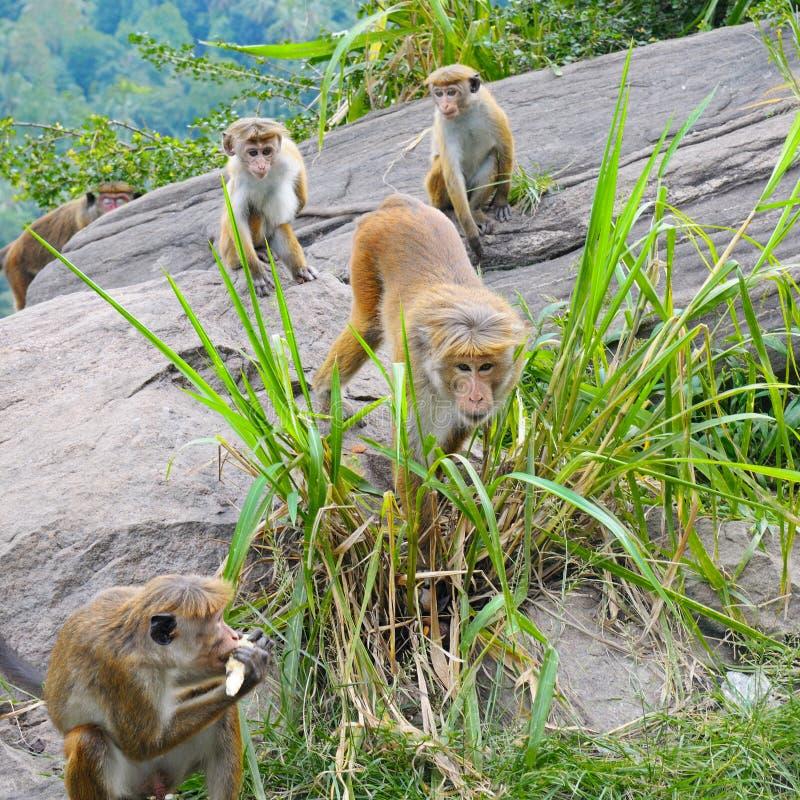 Мужская обезьяна и его семья стоковое изображение rf
