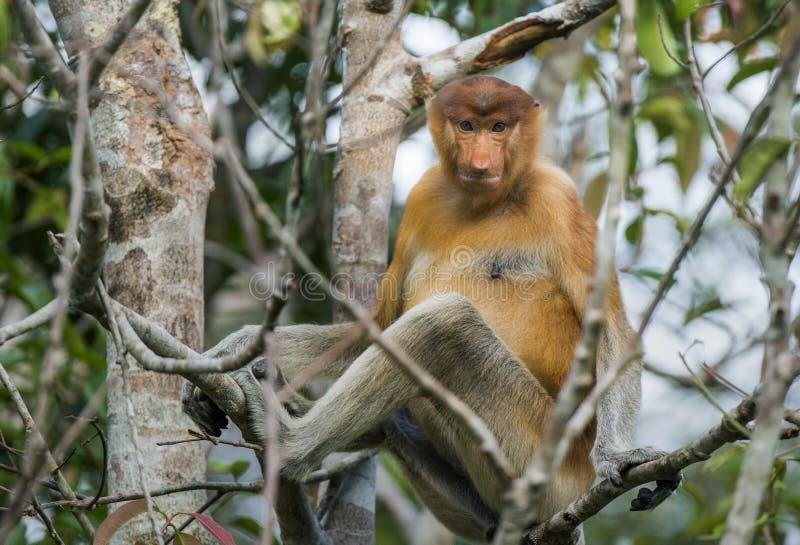 Мужская обезьяна хоботка на Борнео, Индонезии стоковые фото