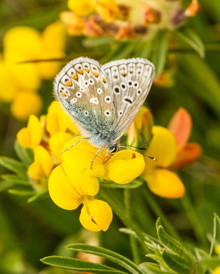 Мужская общая голубая бабочка с крылами закрыла стоковое фото rf
