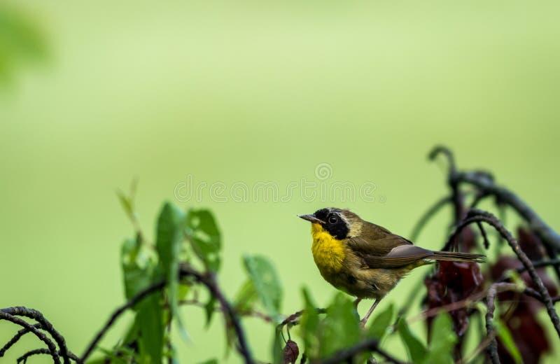 Мужская певчая птица общего Yellowthroat садить на насест на дереве после дождя стоковые фотографии rf