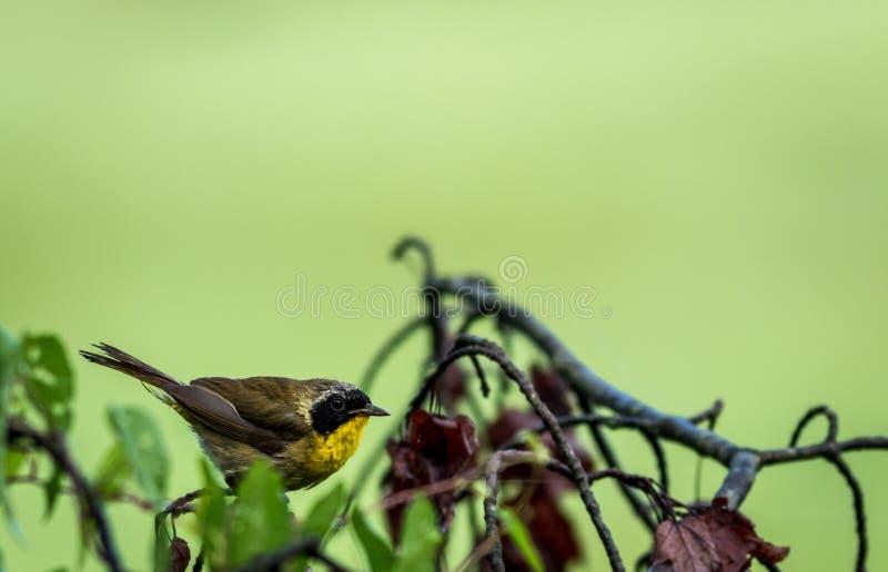 Мужская певчая птица общего Yellowthroat садить на насест на дереве после дождя стоковые фото