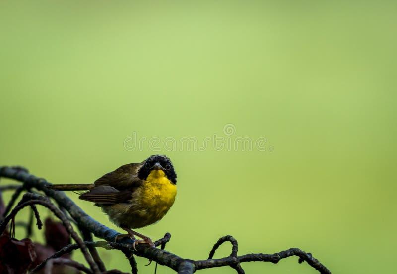 Мужская певчая птица общего Yellowthroat садить на насест на дереве после дождя стоковые изображения rf