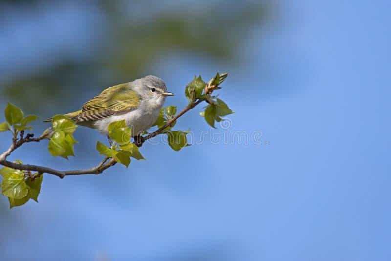 Мужская певчая птица Теннесси в дереве тополя стоковое изображение rf