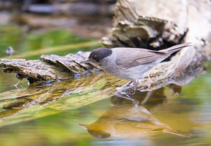 Мужская певчая птица Blackcap на бассейне леса стоковые изображения rf