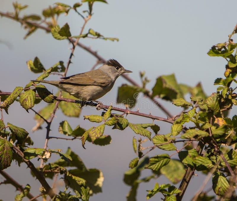 Мужская певчая птица Blackcap на кусте ежевики стоковые фото