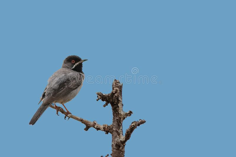 Мужская певчая птица ` s Ruppell, певчая птица ` s ppell ¼ RÃ, ruppelli Сильвии Греция стоковое фото rf