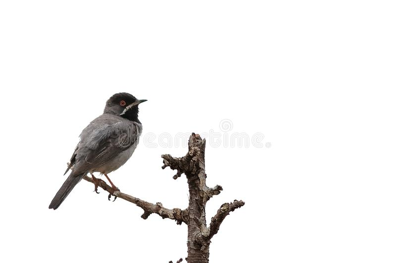 Мужская певчая птица ` s Ruppell, ruppelli Сильвии стоковое изображение rf