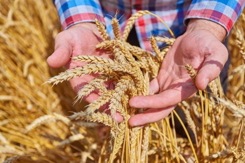 Мужская рука держа золотое ухо пшеницы стоковые изображения