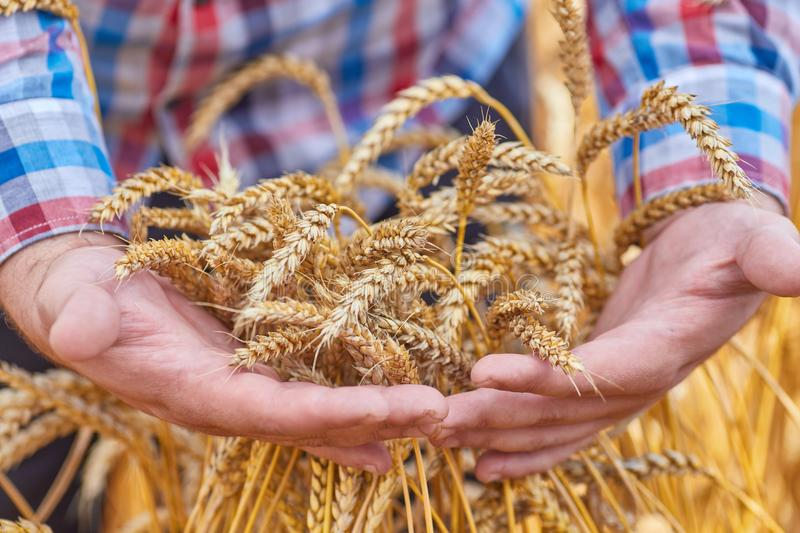 Мужская рука держа золотое ухо пшеницы стоковое фото