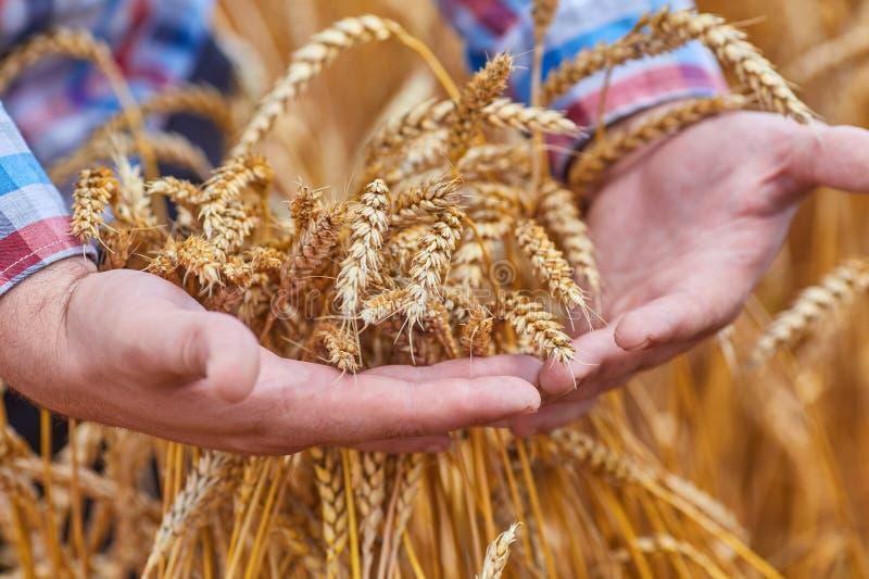 Мужская рука держа золотое ухо пшеницы стоковое изображение rf