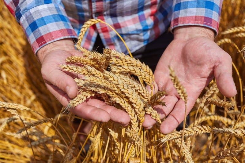 Мужская рука держа золотое ухо пшеницы стоковая фотография rf