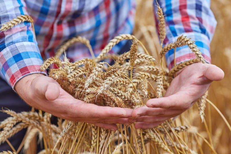 Мужская рука держа золотое ухо пшеницы стоковые изображения rf