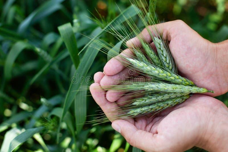 Мужская рука держа ухо пшеницы в пшеничном поле Фермер с пшеницей в руках Завод, природа, рожь Стержень с семенем для хлеба хлопь стоковое фото