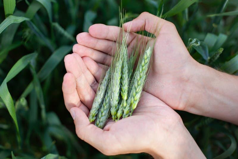 Мужская рука держа ухо пшеницы в пшеничном поле Фермер с пшеницей в руках Завод, природа, рожь Стержень с семенем для хлеба хлопь стоковые изображения rf