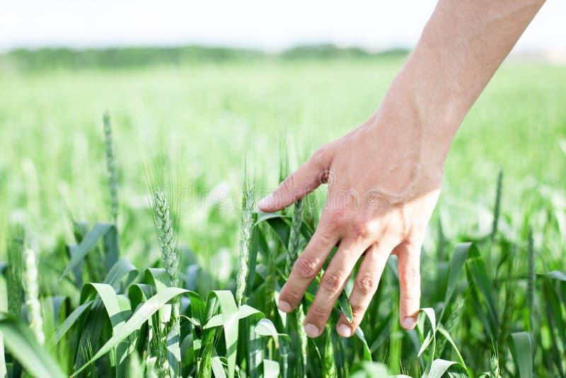 Мужская рука касаясь золотому уху пшеницы в пшеничном поле Фермер идя через поле проверяя урожай пшеницы Завод, природа, рожь Cr стоковое фото rf