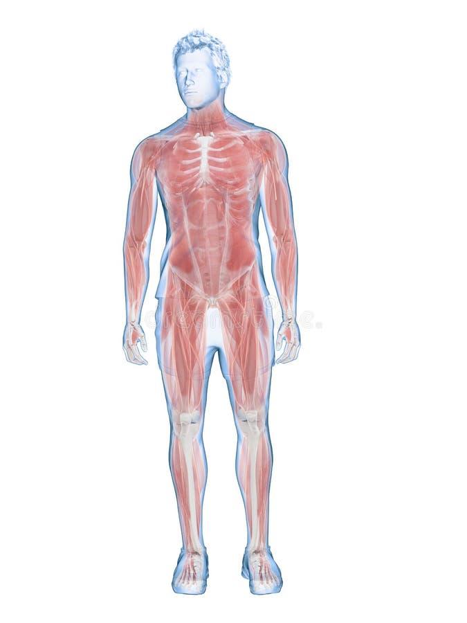 Мужская система мышцы иллюстрация вектора