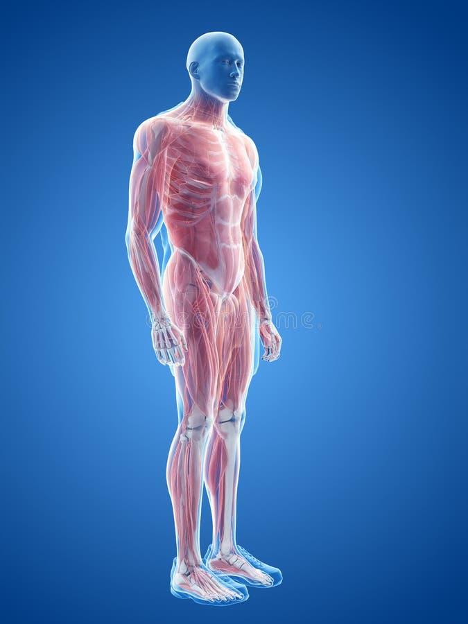 Мужская система мышцы иллюстрация штока