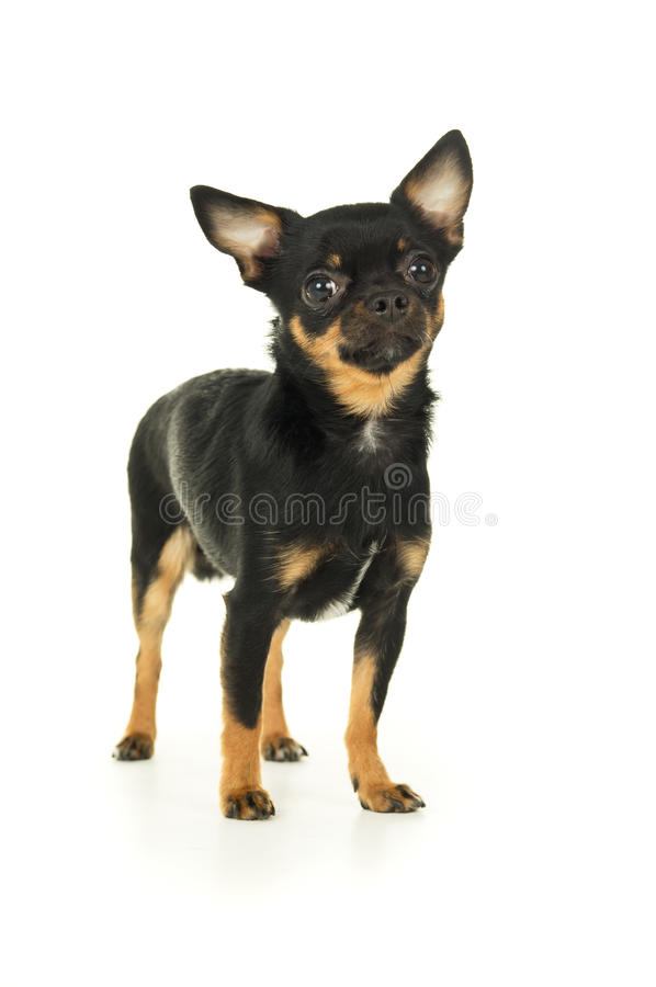 Download Мужская собака чихуахуа стоковое фото. изображение насчитывающей смотреть - 37930318