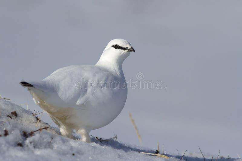 Мужская тундреная куропатка утеса стоя на покрытом снег наклоне на пасмурное стоковая фотография