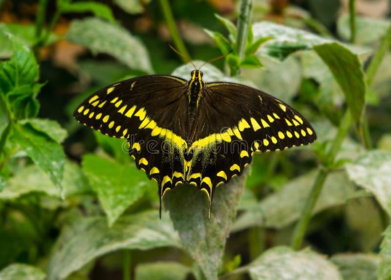 Мужская черная и желтая бабочка Swallowtail стоковое изображение rf