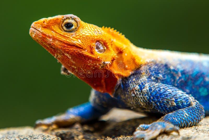 Мужская ящерица агамы стоковое изображение