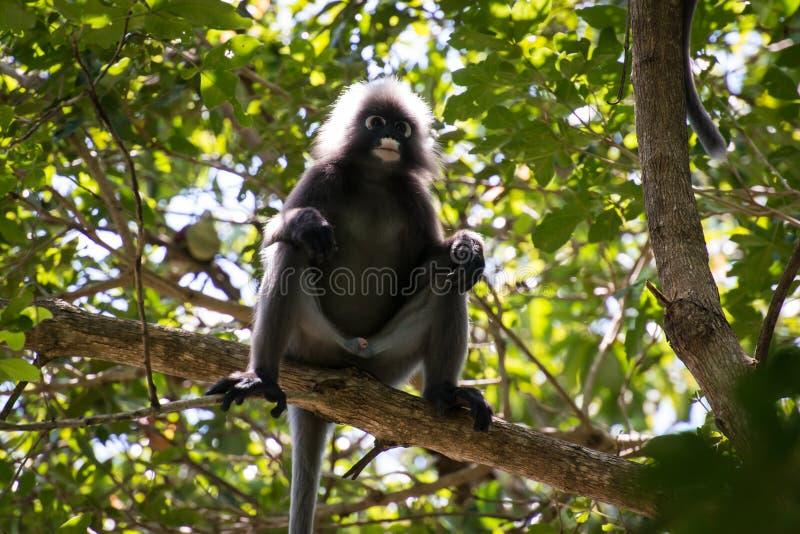 Мужская dusky обезьяна лист стоковое изображение rf
