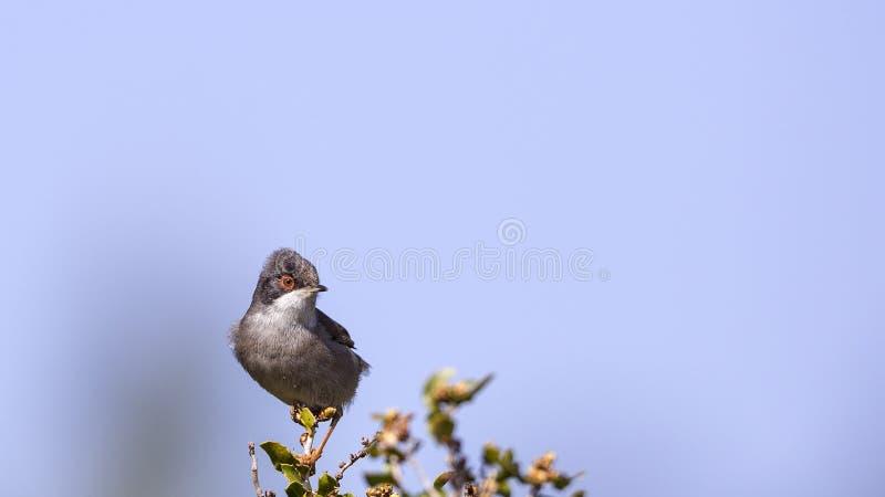 Мужская Sardinian певчая птица стоковые фотографии rf