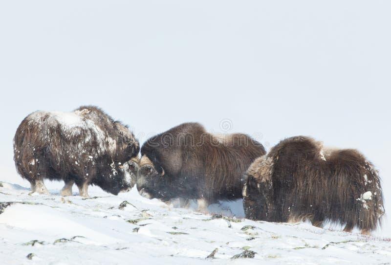 Мужские волы мускуса воюя в снеге стоковое фото rf